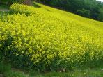 鹿田山菜の花