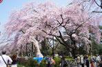 榴ヶ岡公園お花見