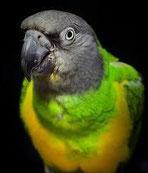 Les oiseaux vivant en cages ou en volières sont souvent exposés à un air sec, chaud surtout en été, ils n'ont souvent pas la possibilité de se laver et d'éliminer les souillures et les parasites.