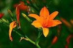 Une fleur de lys orange toxique pour le chien le chiot par coach canin 16 éducateur canin en charente