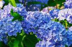 Un hortensia fleurit de couleur bleu toxique pour le chien le chiot par coach canin 16 éducateur canin en charente