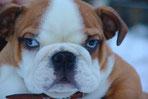 La tête d'un chiot bouledogue Anglais marron et blanc , yeux bleus par coach canin 16 dresseur chien à cognac