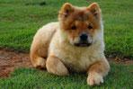Un chien de race Chow Chow marron clair couché dans l'herbe par coach canin 16 educateur canin à domicile angoulême