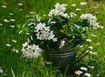 Un pot de jasmin de couleur blanche toxique pour le chien le chiot par coach canin 16 éducateur canin en charente