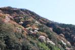 山桜の咲く山