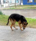 La boussole interne du chien