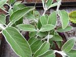 Peruanischer Salbei mit grau grünen Blättern, Foto Kirnstötter
