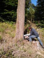 Baumkontrolle mittels Resistographen