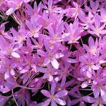 Herbstzeitlose (Colchicum)
