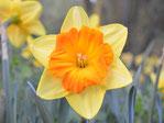 Narzissen-Blumenzwiebeln