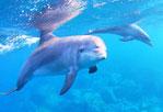 御蔵島ドルフィンスイムツアーで出会ったイルカ