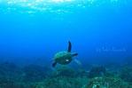 御蔵島のドルフィンスイム中に現れたカメ