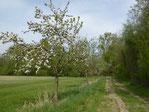 Streuobstwiese bei Berkach, gepflanzt und gepflegt vom NABU Groß-Gerau / Berkach