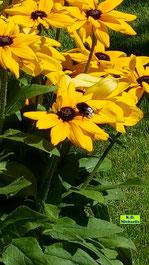 Dicke Erdhummel im Anflug auf die riesigen, gelben Blüten einer Rudbeckia von K.D. Michaelis