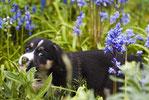 un chien noir et blanc dans un champ de fleurs mauves par coach canin 16 educateur canin angouleme