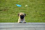 un chien carlin debout les pattes avant posées sur une planche de bois en hauteur par coach canin 16 educateur canin à domicile charente