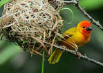 Golden Palm Weaver