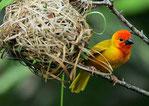 Golden Palm Weaver