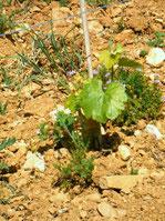 Jeune plant  produisant ses premières feuilles 17/04/07