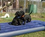 Hundewelpen, Welpenschule