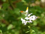 Blühfläche zur Förderung der Insekten und Feldlerchen.
