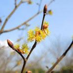 黄色い花が咲く木 何