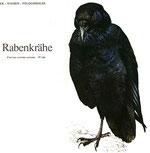BiHU Vogelführer Natur Hergenrath Rabenkrähe