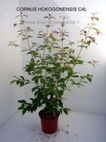Cornus  honkogonensis