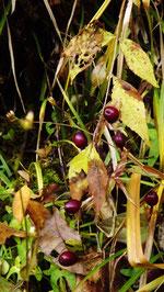 夕森公園。中津川の里山の美しい紅葉真っ盛り付知峡美しい紅葉 紅葉まっさかり見所みどころ見ごろ中津川付知川河畔見所散策鉄道跡地遊歩道苔地衣類山野草しょうじょうばかまさんさくりどうとさみずきもみじやまざくらすみれしでこぶし