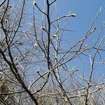 美しき山里中津川花々を訪ねてしでこぶしシデコブシ絶滅危惧種芽吹き新緑
