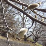 美しき山里中津川花々を訪ねてしでこぶしシデコブシ絶滅危惧種芽吹き新緑付知川裏木曽渓谷