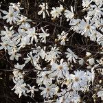 美しき山里中津川花々を訪ねてしでこぶしシデコブシ絶滅危惧種芽吹き