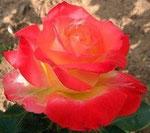 Rose:Hiroshima