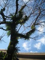 柿の木の こえだは空に 手をひろげ 新芽の出る日を まってます。