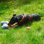 Tierschutzhund aus Spanien, adoptieren