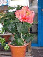 店内の花ハイビスカス
