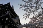 春・日本三大夜桜「高田城跡」