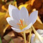 Herbst-Krokusse
