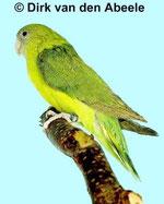 "Agapornis canus (Grauköpfchen) ""pallid grün"""
