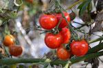 オーガニック 無農薬 ミニトマト