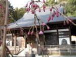 身延山の枝垂れ桜