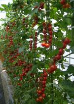 ハウス栽培ミニトマト