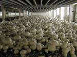 вирощування печериць в теплиці, вирощування шампіньйонів, гриби в теплиці як вирощувати гриби шампіньйони, печериці