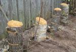 як вирощувати гриби на дачі, гриби на грядці, вирощування грибів