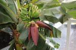 банани теплиця вирощування