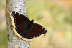 Edelfalter (Nymphalidae)