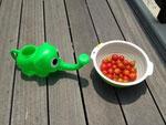 収穫したミニトマト
