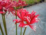 八重咲きヒガンバナ