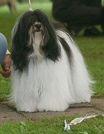 Ashima Jo-Mo von Bendakahn Tibet Terrier Hündin