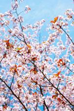 日本 北海道 札幌 桜の花